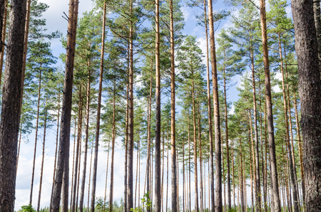 Beautiful forest background of a bright woodland with tall pine trees