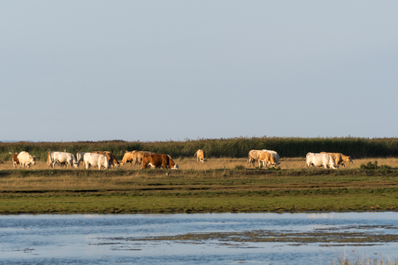 Herd of grazing cattle in a wetland at the swedish island Oland