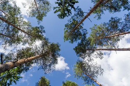 Bright tree tops in a pine tree forest in a low perspective image Stock Photo