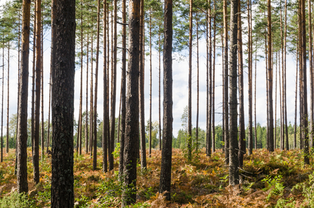Bright pine tree forest with a colorful floor by fall season