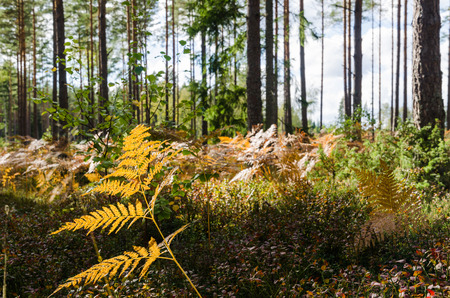 Colorful bracken by fall season in a bright pine tree forest Stock Photo