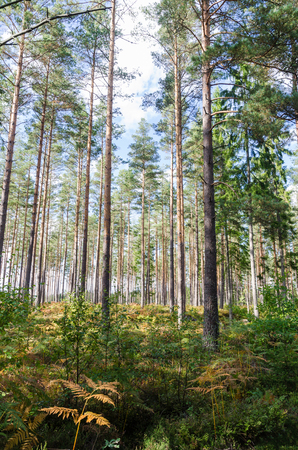 Bright and green forest with tall pine trees Stock Photo