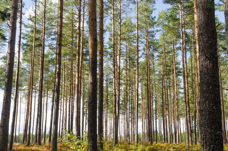 Bright and beautiful pine tree forest with tall tree trunks Stock Photo