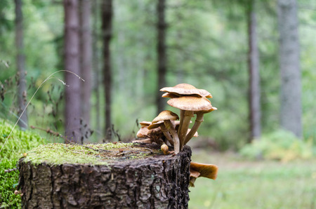 Group of mushrooms growing on a tree stump in a coniferous forest Stock Photo