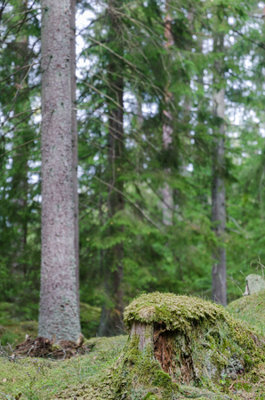 Mossy old tree stump in a coniferous forest of spruce trees