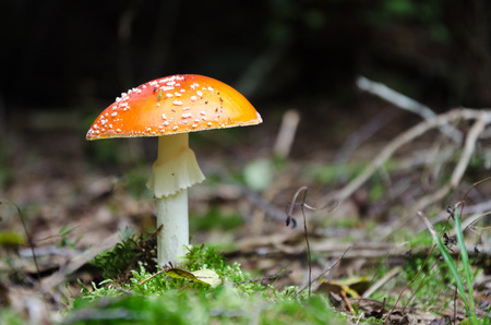 One beautiful growing Death Cap on forest ground
