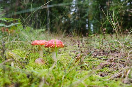 Two red growing uneatable Death Cap mushroms in a green forest