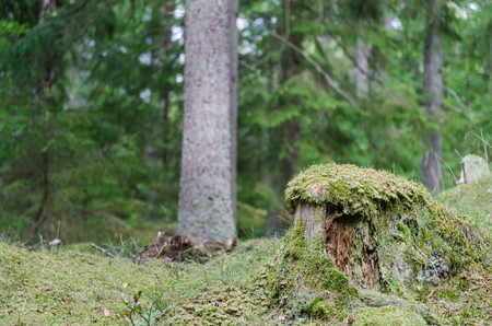 Old moss wrapped tree stump in a green spruce tree forest