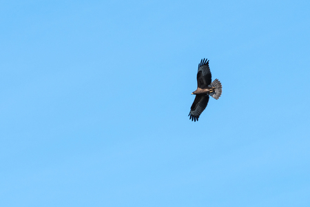 Honey Buzzard, Pernis Apivorus, in awesome flight by blue skies when migrating by Ottenby in Sweden