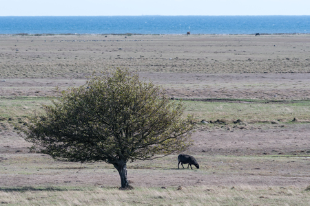 Lone grazing black sheep in a wide grassland at the swedish island Oland in the Baltic Sea