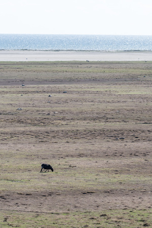 Alone grazing black sheep by a coastal wide grassland at the swedish island Oland in the Baltic Sea