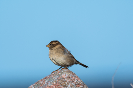 Female House Sparrow, Passer Domesticus, sitting on a stone against blue skies