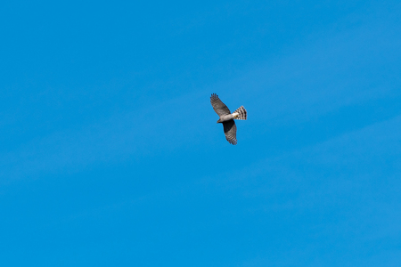 Sparrowhawk, Accipiter Nisus, watching from high up in the blue sky Stock Photo