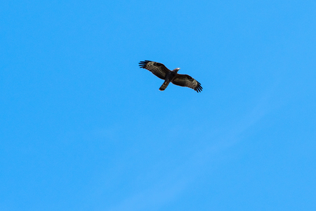 Migrating Honey Buzzard, Pernis Apivorus, against blue sky by fall season in Sweden 版權商用圖片