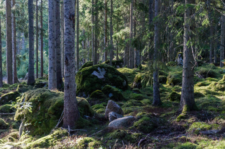 Deep in a mossy old forest with mossgrown rocks