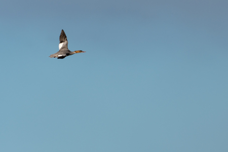 Flying female Goosander duck, Mergus Merganser, against blue skies Stock Photo
