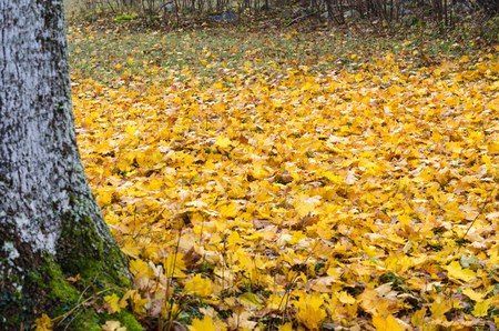 Golden colored fallen maple leaves covers the ground by an old tree trunk
