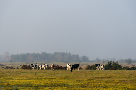Herd of grazing cattle by fall season at the island Oland in Sweden Stock Photo