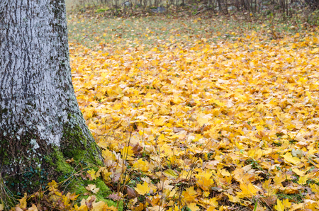 Mossy tree trunk by a ground covered with fallen maple leaves Stock Photo