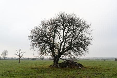 Wide lone tree in a green grassland by fall season Stock Photo