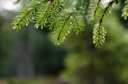 Fresh green spruce tree twigs with rain drops Stock Photo