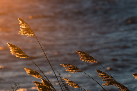 Dry fluffy reeds flowers by sunset Stock Photo