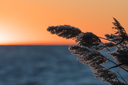 Fluffy reed flowers closeup by a sunset with golden sky Stock Photo