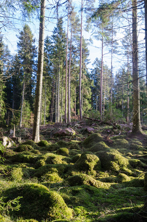Glade in a coneferous forest with a green mossy ground