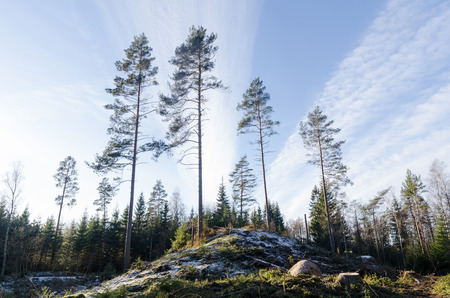 Tall pine trees growing on a hill in a bright forest by winter season Stock Photo