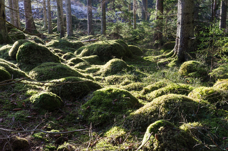 Beautiful green mossy ground in a sunlit coniferous forest Stock Photo
