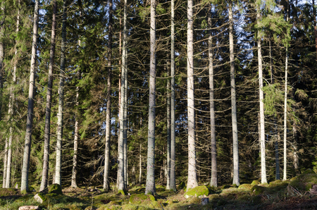 Bright spruce tree forest with sunlit tall trees Stock Photo