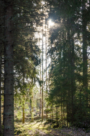 Sunshine in a green beautiful coniferous forest