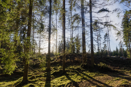 Backlit green mossy forest with spruce trees Stock Photo