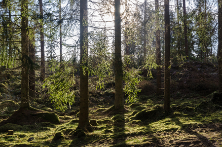 Mossy ground in a backlit beautiful coniferous forest