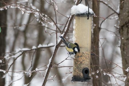Great Tit, Parus Major, sitting by a bird feeder in winter season Stock Photo