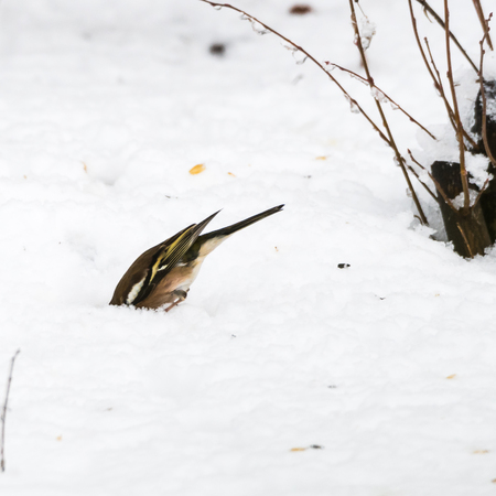 Common Chaffinch, Fringilla Coelebs, looking for food underneath the snow on the ground