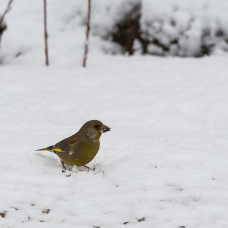 European Greenfinch, Chloris Chloris, finding food on the snowy ground Stock Photo