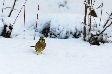 Yellowhammer, Emberiza Citrinella, looking for food on a snowy ground