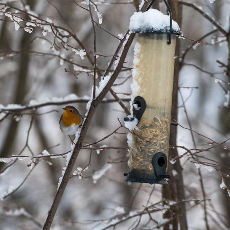 European Robin, Erithacus Rubecula, by a bird feeder in winter season Stock Photo