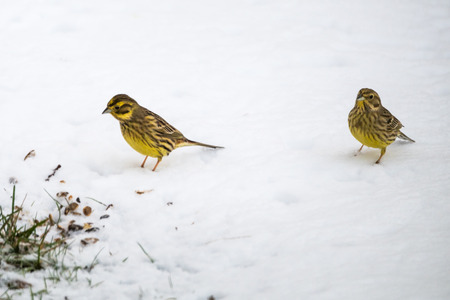Yellowhammers, Emberiza Citrinella, looking for food on a snowy ground