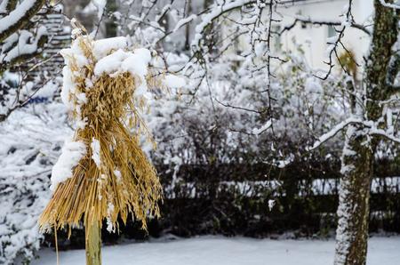 Traditional sheaf of oats as a bird feeder in a nordic garden in wintertime
