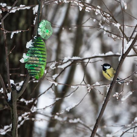 Great Tit, Parus Major, sitting in a tree by a bird feeder in winter season Stock Photo