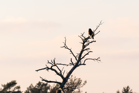 Birf of prey, Common Buzzard, looking from it´s view point in a  dried tree top at the island Oland in Sweden Stock Photo