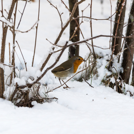 European Robin, Erithacus Rubecula, by winter season on a snowy ground