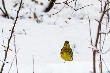 Male Yellowhammer, Emberiza Citrinella, in a snowy landscape