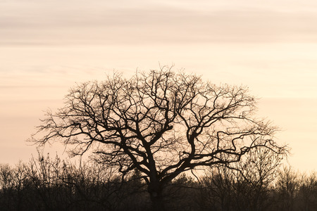 Wide bare oak tree silhouette by sunset with a colored sky