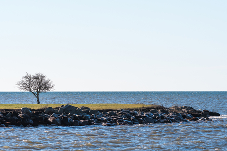 Bare lone tree by the coast of the Swedish island Oland in the Baltic Sea