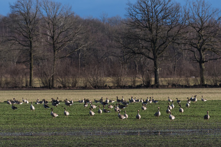 Flock with Greylag Geese grazing in a farmers green field Stock Photo