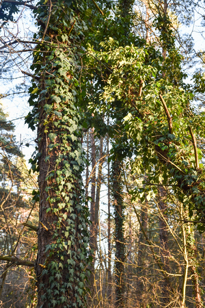 Tree trunks covered of lush growing ivy plants Stock Photo