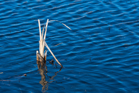 Dried reed plant in blue water in a flooded area